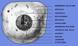 qelizë